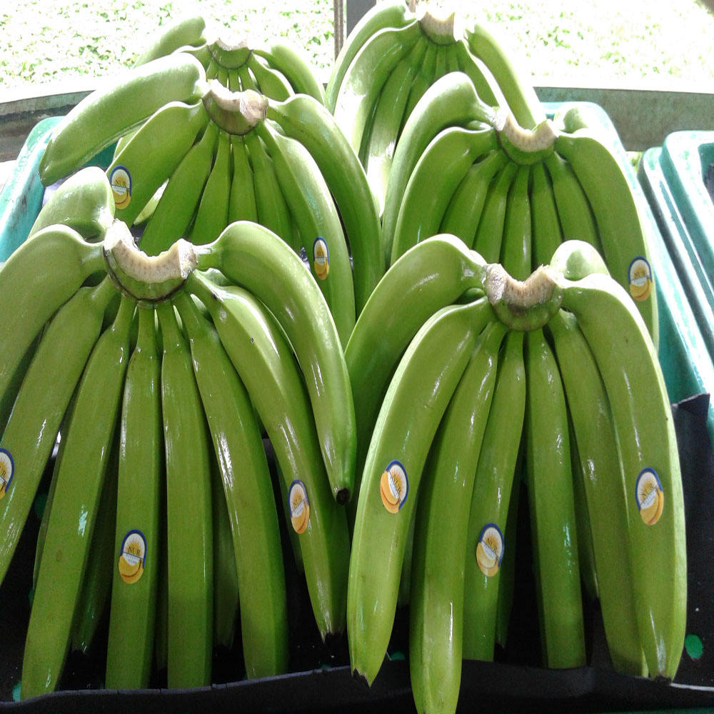 Philippines Fresh Cavendish Bananas