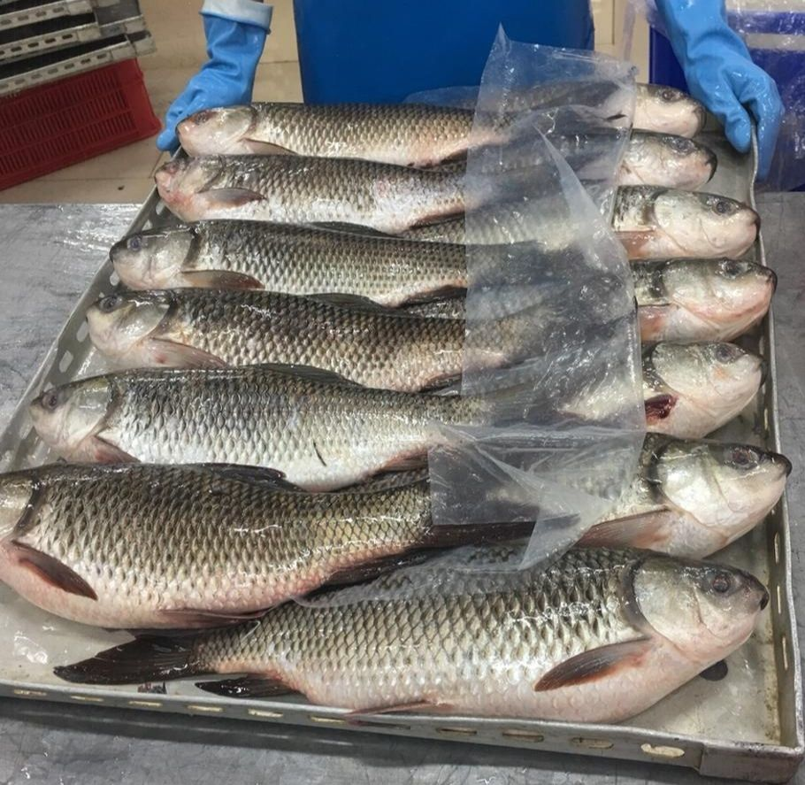 Congelados ROHU pescado disponible