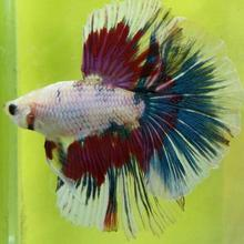 High Quality Live Aquarium Fish, Exporter of Live Ornamental Fish