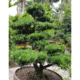 Podocarpus Bonsai Height 128cm Trunk Diameter 20cm, Gorgeous shape, Japanese style, outdoor plant