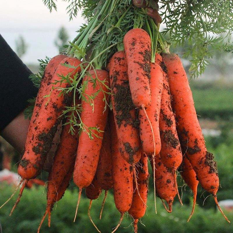 Fresh Carrot Hot Selling