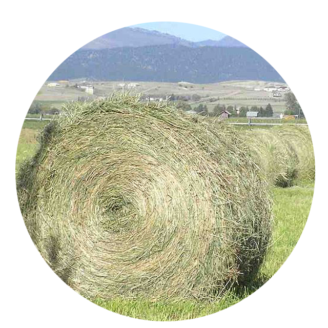 Hay silage/ Alfalfa silage for animal feed / (0084 237 8655 789)
