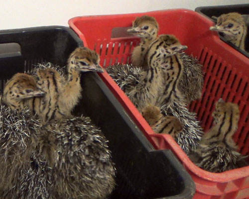 Healthy Ostrich Chicks/ Live Ostrich chicks for sale