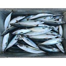 Pacific Seafood Frozen Whole Round Mackerel Fish For Canned Food