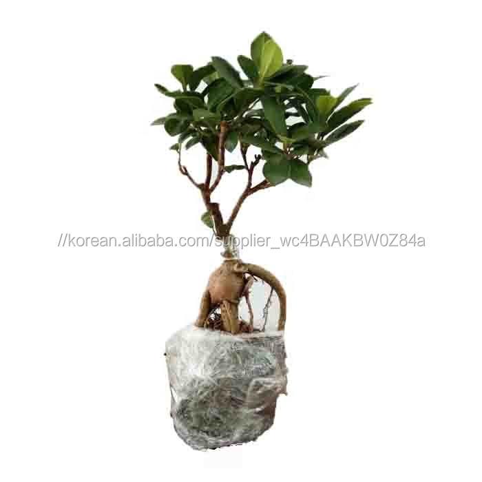 녹색 Ficus 인삼 분재 나무 ficus microcarpa 공장 꽃 냄비 가정 식물 실내 정원 장식