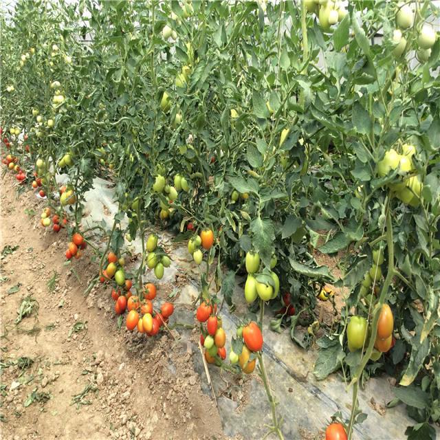 Suntoday rio grande pour une période indéterminée de légumes hybrides israël syngenta tomate cerise graines