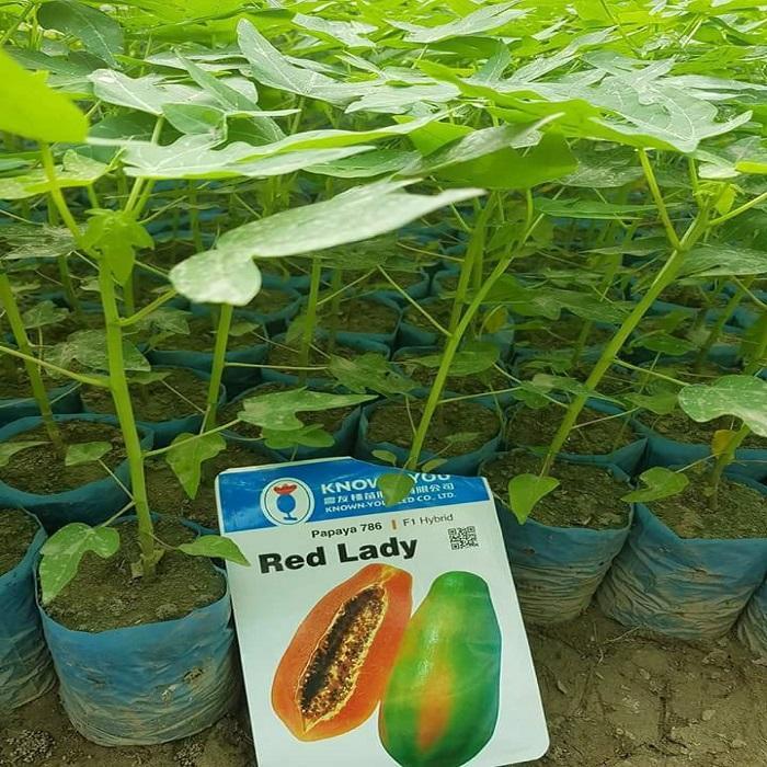 High Germinaiton F1 Hybrid Red Lady Papaya Seeds on sales
