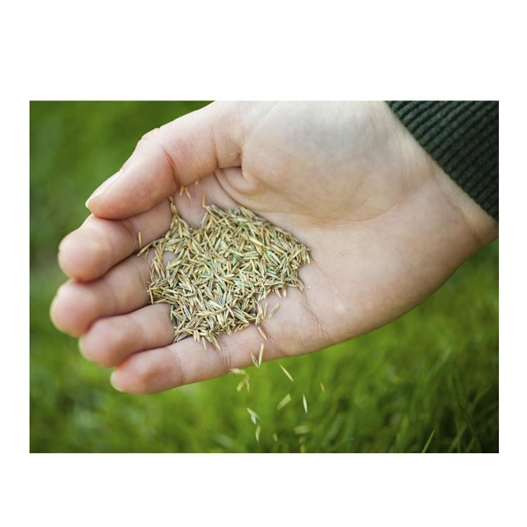 High Quality Lawn Seeds Axonopus Compressus Seeds for Planting/Sowing