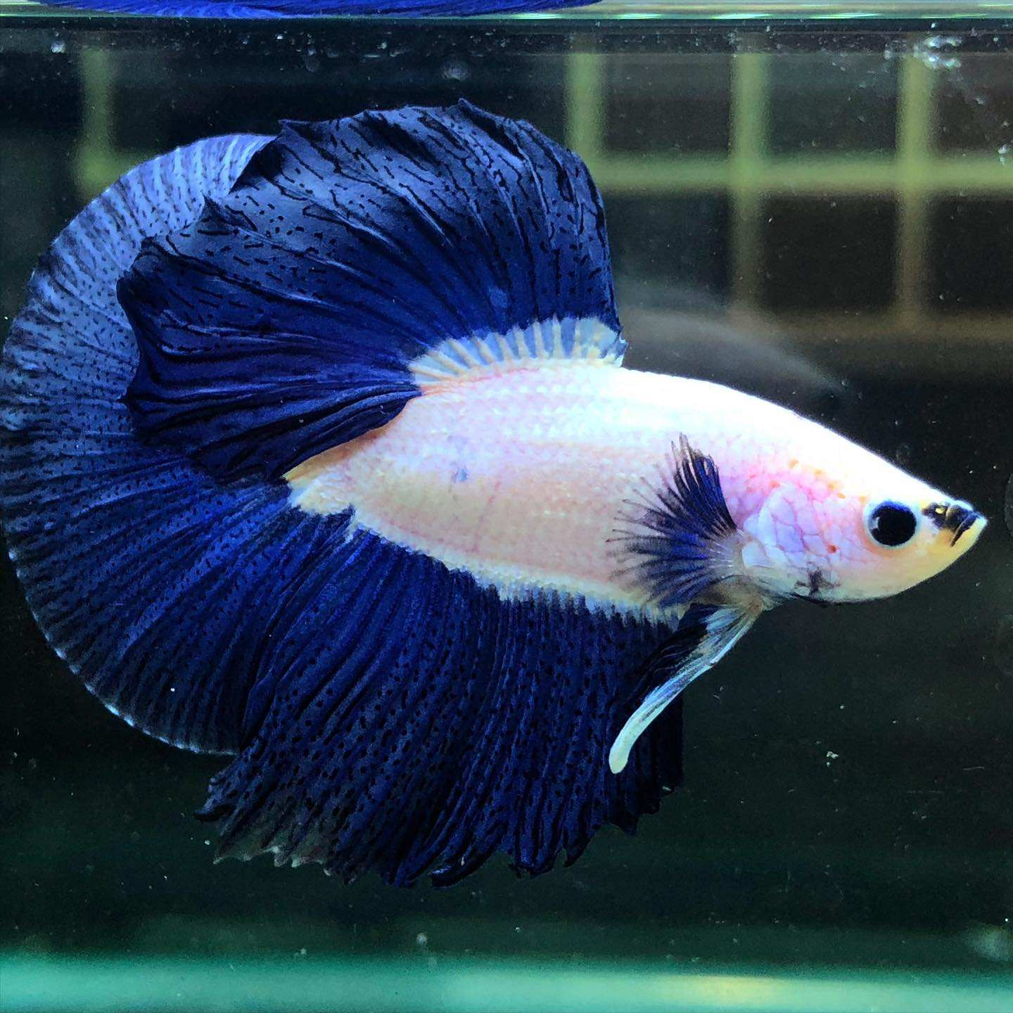 Blue Rim Betta Fish HALFMOONS - Thailand Betta Fish Live Male Female Siamese Fighing Fish