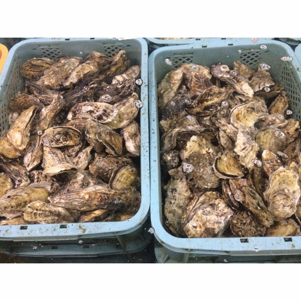 High quality horn shell seafood, good seafood price, seafood names fresh oyster