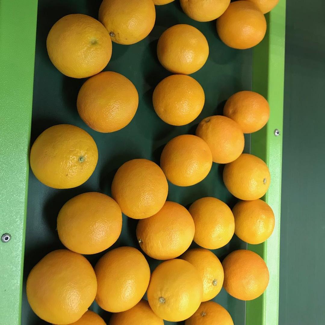 Fresh Citrus Fruits for sale, South Africa Valencia Oranges
