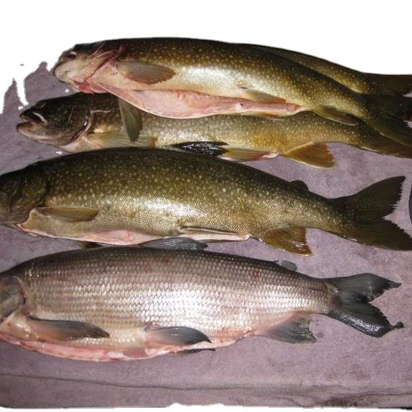 Seafood Frozen whole lake whitefish for sale| New Season Frozen lake whitefish