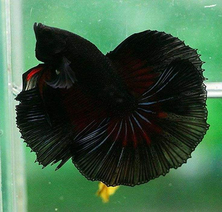 Betta allevamento ittico della tailandia betta commercio all'ingrosso halfmoon plakat galaxy betta